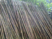 BAMBOO DRYING UNDER THE SUN AND ITS STRAIGHTNESS